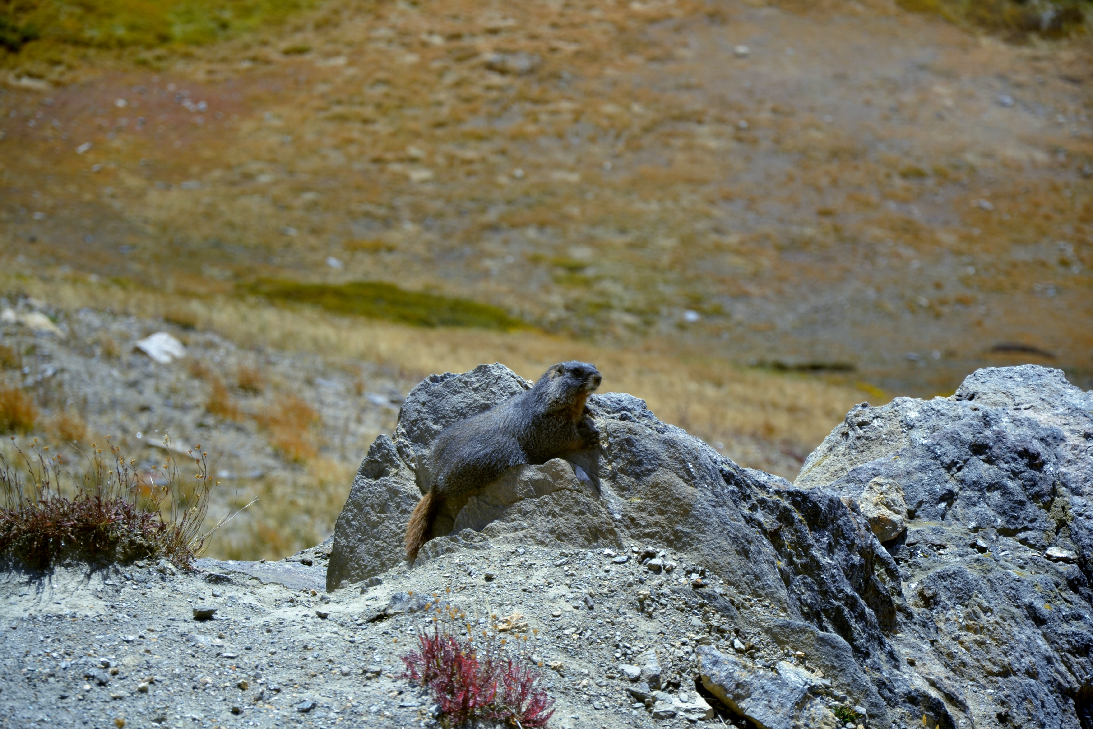 Rocky Mountain National Park - alpine visitor center marmotte
